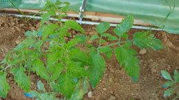taches sur feuilles de tomate