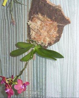 Placer une orchidée sur écorce
