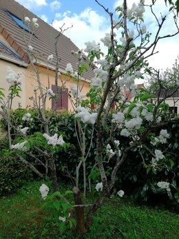 lilas blanc morose