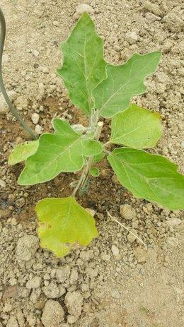 feuilles aubergines