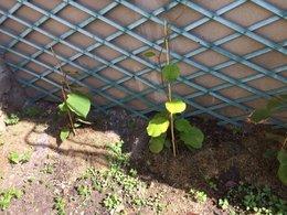 Arbre Kiwi - Feuilles jaunies