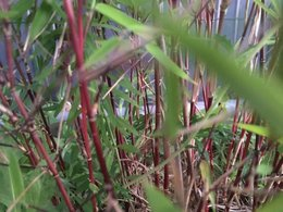 Identification bambou