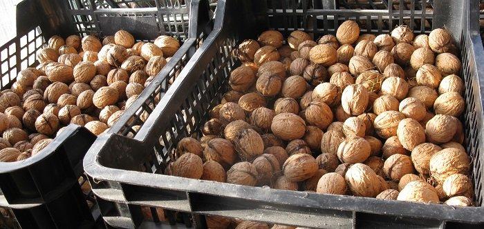 Les noix : de la récolte à la conservation