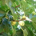 Le figuier : arbre fruitier productif mais dangereux