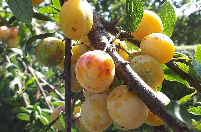Toucher ou non à la branche du fruitier de mon voisin ?
