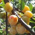 Puis-je récolter les fruits sur les branches de mon voisin qui sont chez moi ?