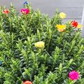 Qu'est-ce que la myrthe fleurie ?