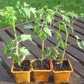 Quand semer les tomates ?