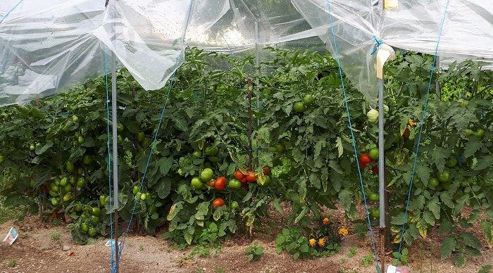 Attention à la culture des tomates sous abri