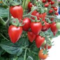 Qu'est-ce que le virus ToBRFV, dangereux pour les tomates ?