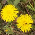 Le pissenlit : une plante bio-indicatrice