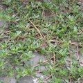 Le pourpier : une plante bio-indicatrice