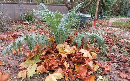 Pailler les artichauts en hiver avec des feuilles