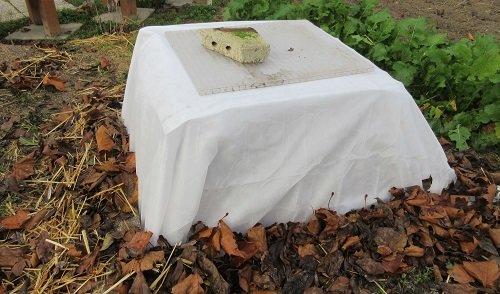 Poser un voile d'hivernage sur les artichauts en hiver