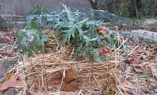 Pailler les artichauts en hiver avec de la paille