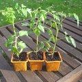 Jardinier débutant : comment réussir ses tomates