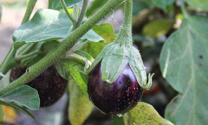 Quand et comment semer les graines d'aubergine ?