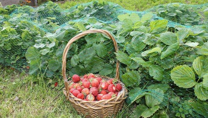 Comment choisir la variété de fraisier à cultiver ?