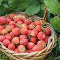 Jardinier débutant : comment réussir ses fraisiers