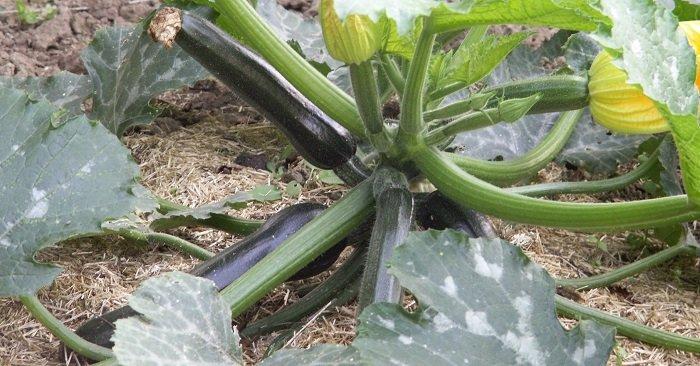 Quand et comment semer les graines de courgette ?