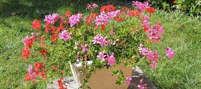 Potée estivale de géraniums lierres