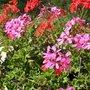 Comment avoir 6 mois de fleurs avec les géraniums des balcons ?
