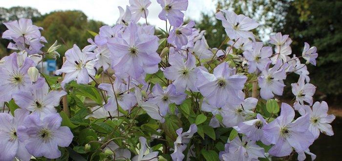 La clématite, une plante grimpante aux fleurs décoratives