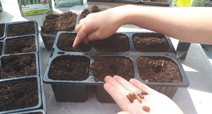 Tu sais comment semer les grains de haricot dans un pot ?