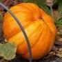 De la récolte à la conservation des courges