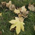 Que faire des feuilles d'arbres qui tombent à l'automne ?