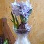 Forçage d'un bulbe de jacinthe