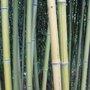 Créer une haie en bambous