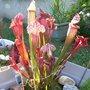Sarracenia : 'Juthatip Soper' et 'Paradisia Red Form'
