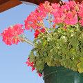 Hiverner les plantes frileuses