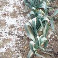 Arrachage et récolte des poireaux en hiver