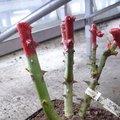 Cire rouge sur un rosier