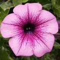 Quelles fleurs semer en février au jardin ?
