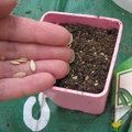 Semer les concombres à l'abri