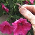 Fleurs fanées de pétunias