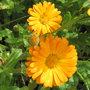Fleurs fanées de soucis