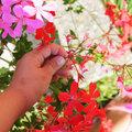 Fleurs fanées de géraniums lierres