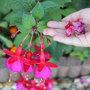 Fleurs fanées de fuchsias