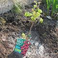 Plantation d'un framboisier
