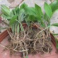 Plantation de muguet dans un pot