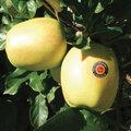 Les pommes AOP du Limousin