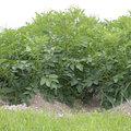 Le buttage des pommes de terre