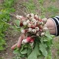 La récolte des radis