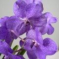 Taille des racines d'une Vanda (orchidée)