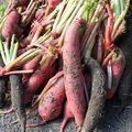 Des radis pour l'hiver