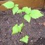 Planter les rejets de framboisiers